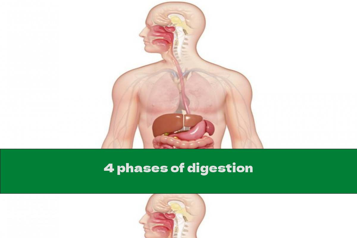 4 phases of digestion
